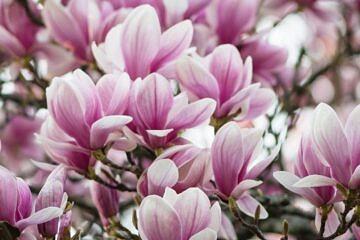 magnolia, krem pod oczy, krem pod oczy biosoma